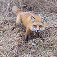 "This fox is on a Cable Restraint or ""snare"" staked to the ground"