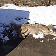 Shot in the hip this coyote was then killed by the hunting dogs