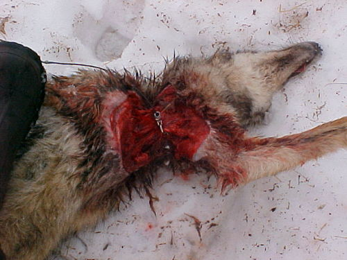 "What a Cable restraint  or ""snare"" does to a coyote"